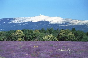 Lavandes et Mont Ventoux
